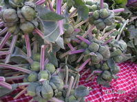 Brussels_sprouts_sprouting