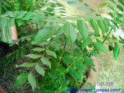 Tuna_curry_leaf